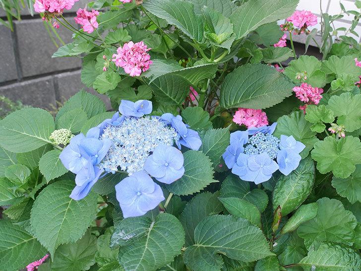 ブルースカイ(アジサイ)の花が綺麗に咲いた。2021年-008.jpg