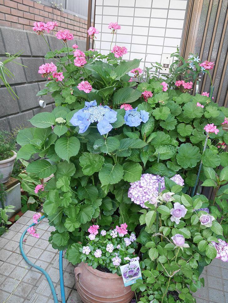 ブルースカイ(アジサイ)の花が綺麗に咲いた。2021年-009.jpg