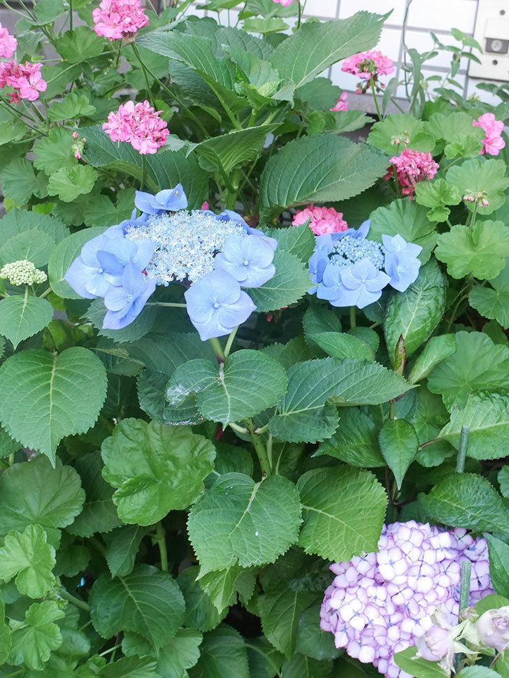 ブルースカイ(アジサイ)の花が綺麗に咲いた。2021年-010.jpg