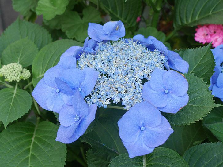 ブルースカイ(アジサイ)の花が綺麗に咲いた。2021年-012.jpg