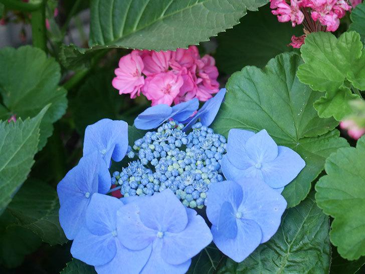 ブルースカイ(アジサイ)の花が綺麗に咲いた。2021年-013.jpg