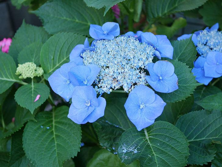 ブルースカイ(アジサイ)の花が綺麗に咲いた。2021年-014.jpg