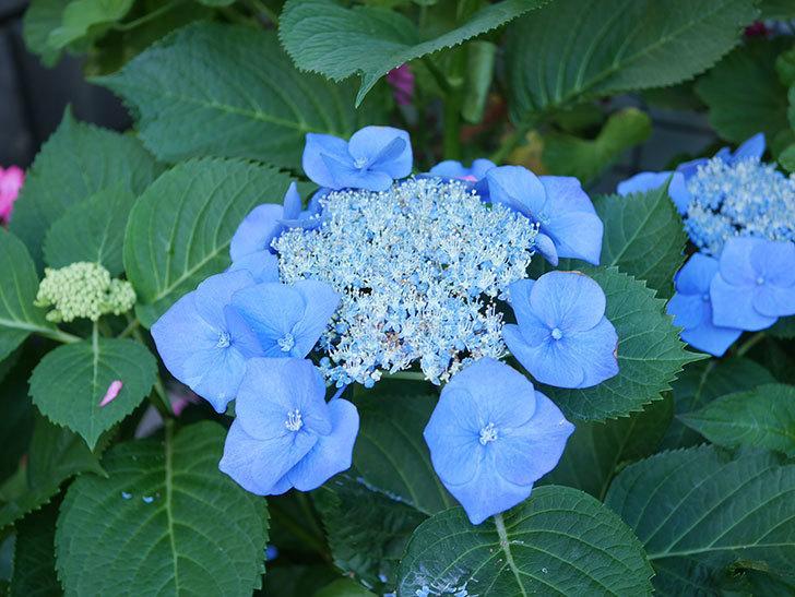 ブルースカイ(アジサイ)の花が綺麗に咲いた。2021年-015.jpg
