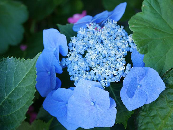 ブルースカイ(アジサイ)の花が綺麗に咲いた。2021年-016.jpg