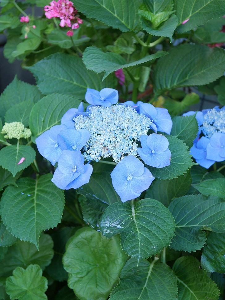 ブルースカイ(アジサイ)の花が綺麗に咲いた。2021年-017.jpg