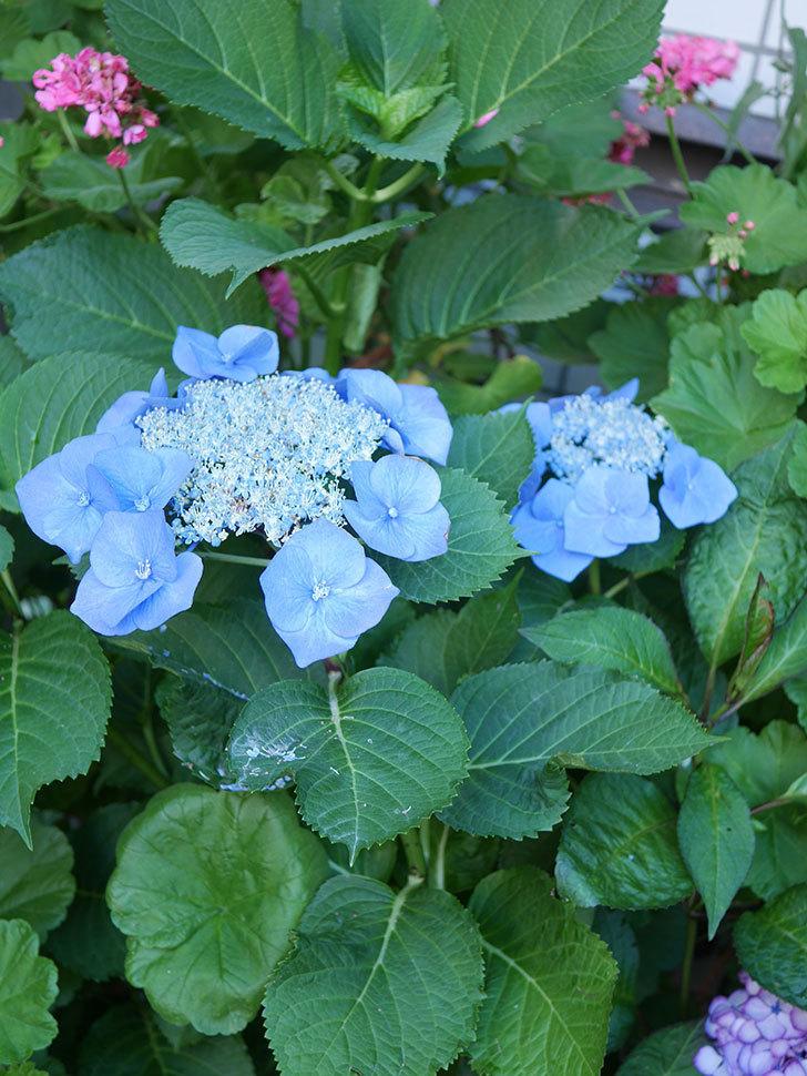 ブルースカイ(アジサイ)の花が綺麗に咲いた。2021年-018.jpg