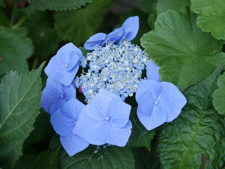 ブルースカイ(アジサイ)の花が綺麗に咲いた。2021年-019.jpg
