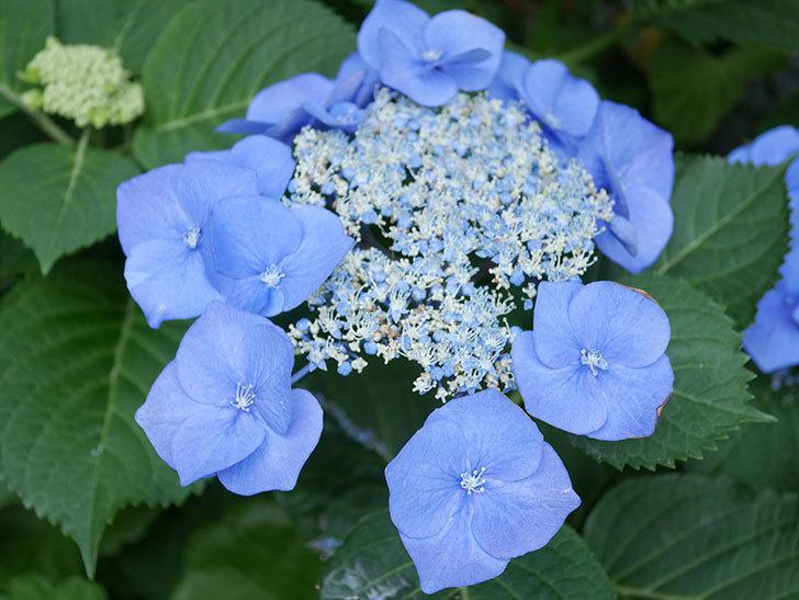 ブルースカイ(アジサイ)の花が綺麗に咲いた。2021年-020.jpg