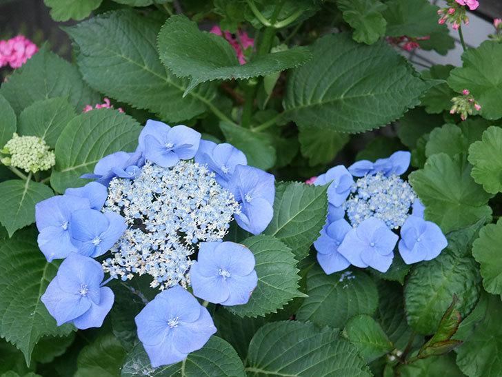 ブルースカイ(アジサイ)の花が綺麗に咲いた。2021年-021.jpg