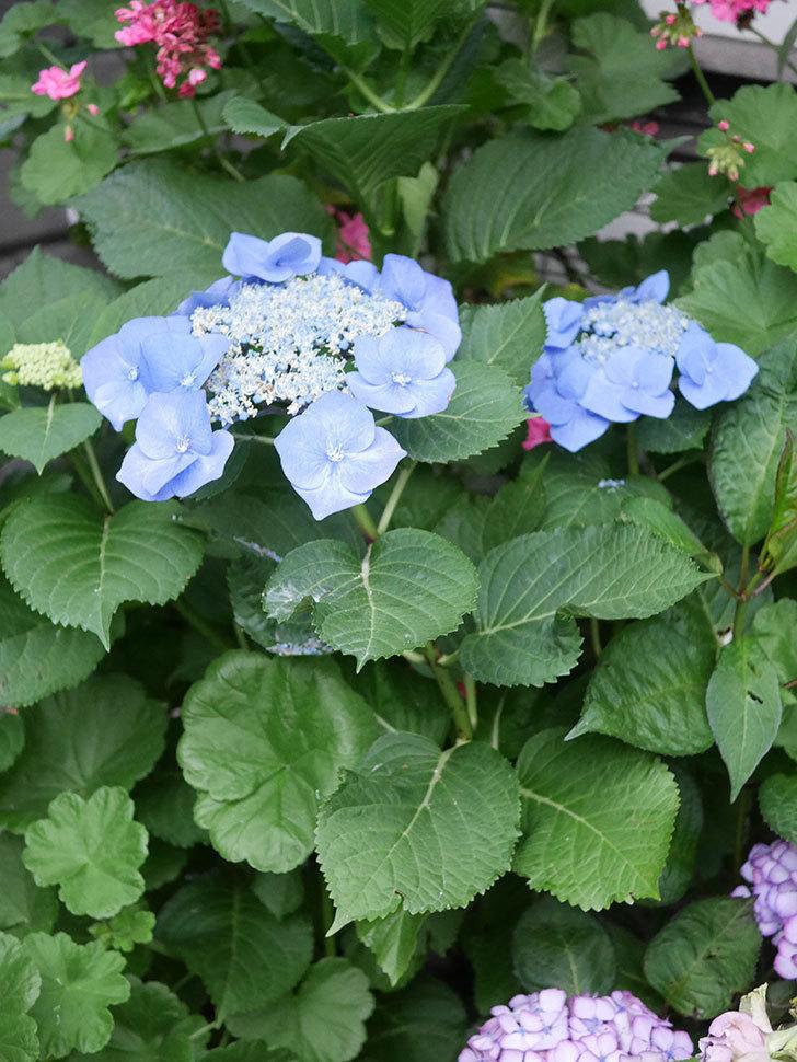 ブルースカイ(アジサイ)の花が綺麗に咲いた。2021年-022.jpg