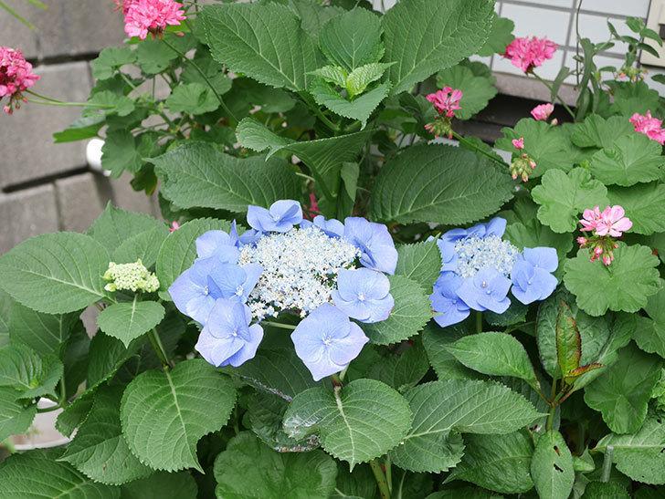 ブルースカイ(アジサイ)の花が綺麗に咲いた。2021年-023.jpg