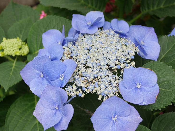 ブルースカイ(アジサイ)の花が綺麗に咲いた。2021年-024.jpg