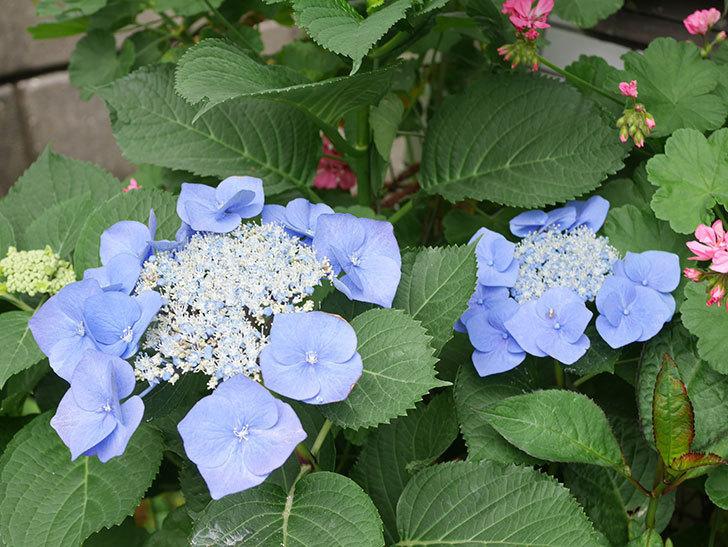 ブルースカイ(アジサイ)の花が綺麗に咲いた。2021年-026.jpg