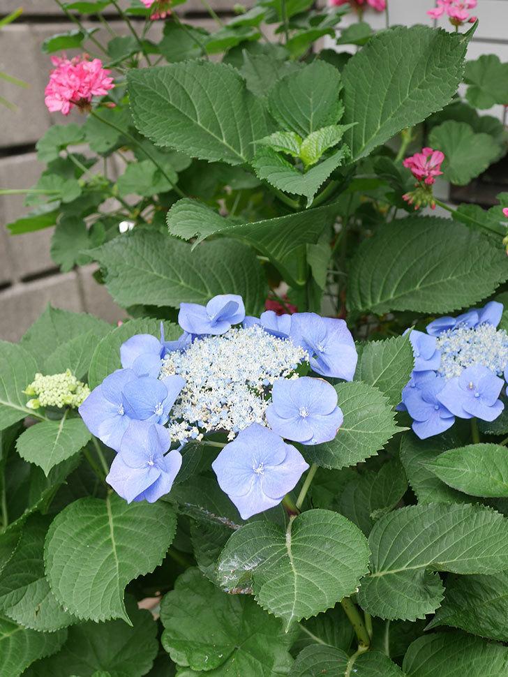 ブルースカイ(アジサイ)の花が綺麗に咲いた。2021年-027.jpg