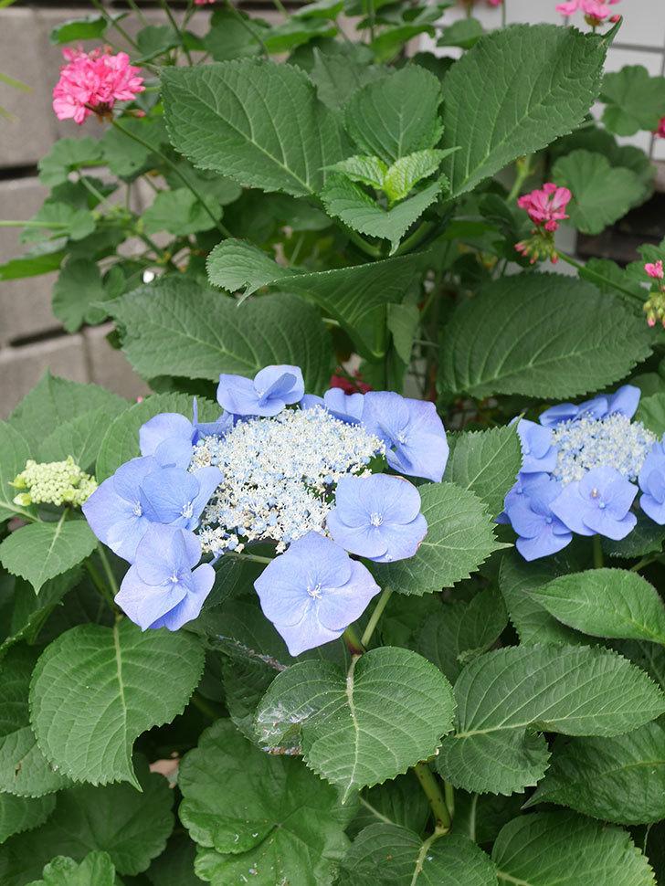 ブルースカイ(アジサイ)の花が綺麗に咲いた。2021年-028.jpg