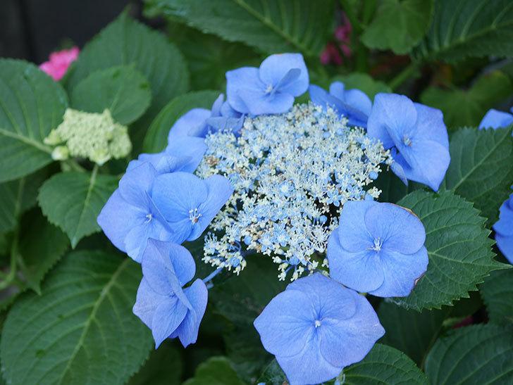 ブルースカイ(アジサイ)の花が綺麗に咲いた。2021年-029.jpg