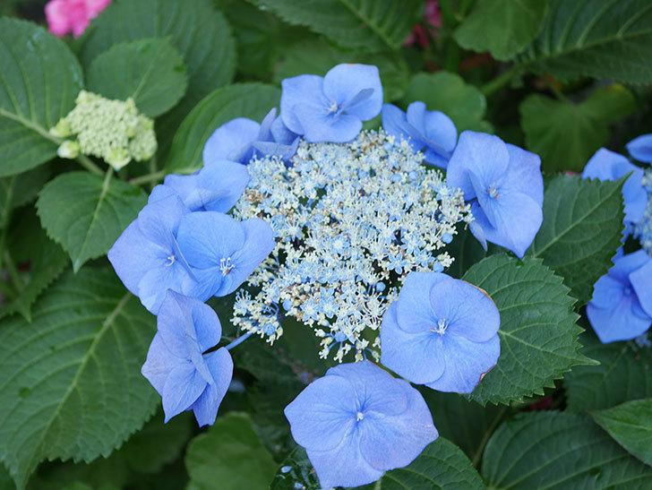 ブルースカイ(アジサイ)の花が綺麗に咲いた。2021年-030.jpg
