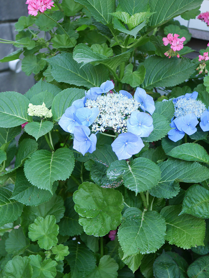 ブルースカイ(アジサイ)の花が綺麗に咲いた。2021年-031.jpg