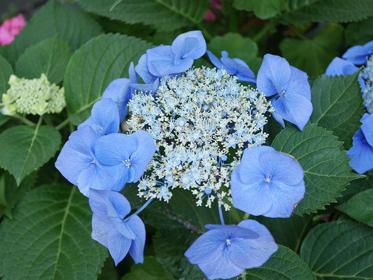 ブルースカイ(アジサイ)の花が綺麗に咲いた。2021年-032.jpg