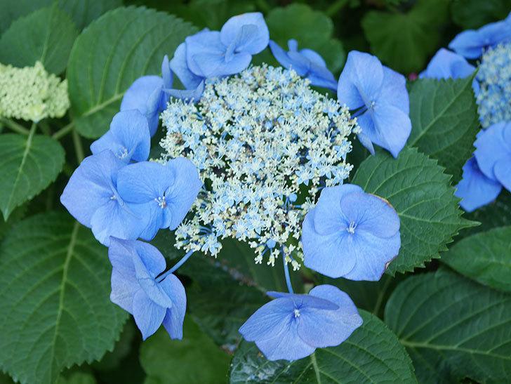 ブルースカイ(アジサイ)の花が綺麗に咲いた。2021年-033.jpg
