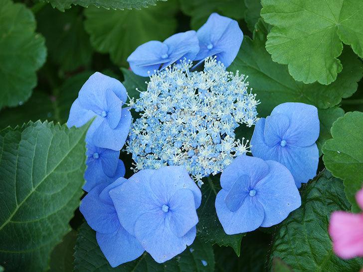 ブルースカイ(アジサイ)の花が綺麗に咲いた。2021年-034.jpg