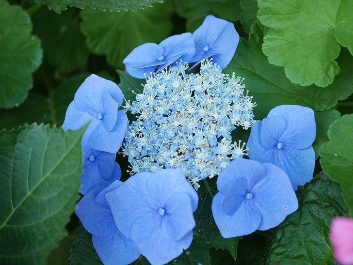 ブルースカイ(アジサイ)の花が綺麗に咲いた。2021年-035.jpg