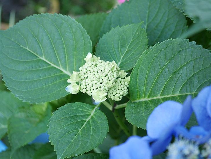 ブルースカイ(アジサイ)の花が綺麗に咲いた。2021年-036.jpg