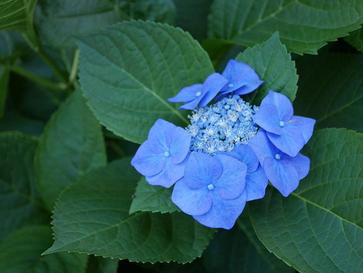 ブルースカイ(アジサイ)の花が青くなってきた。2019年-1.jpg
