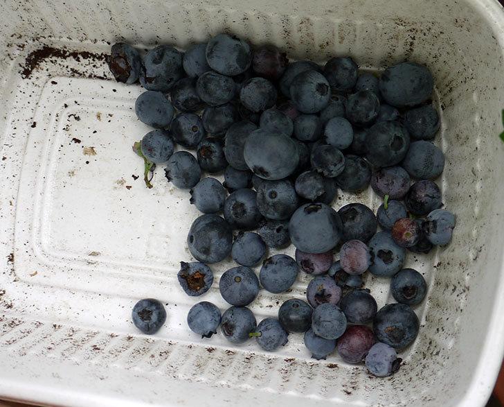 ブルーベリーの収穫をした。2016年-4.jpg