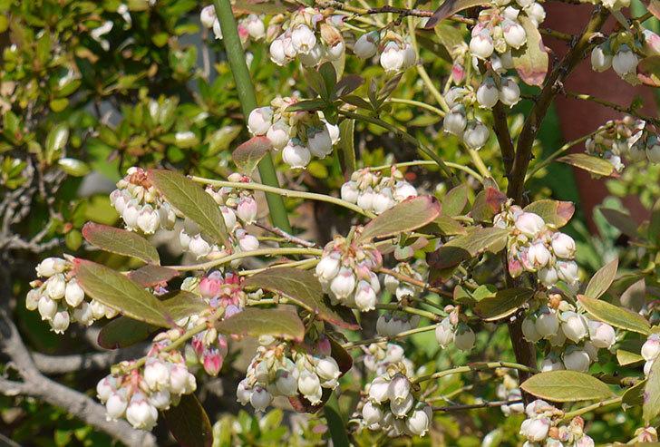 ブルーベリーの花が咲いた3.jpg