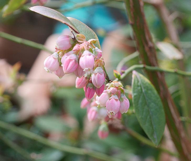ブルーベリーの花が咲いた。2020年-1.jpg