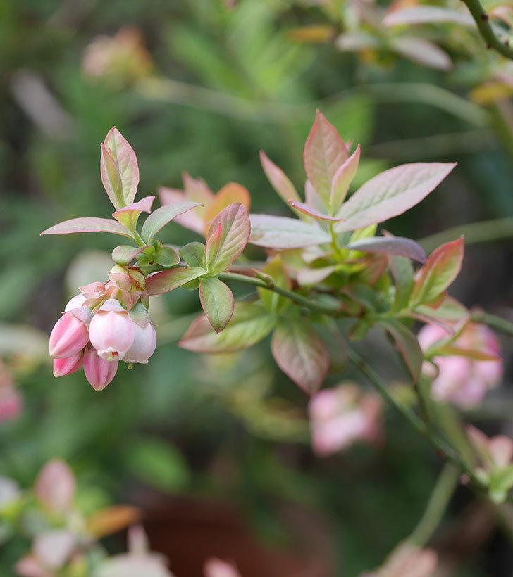 ブルーベリーの花が咲いた。2020年-4.jpg
