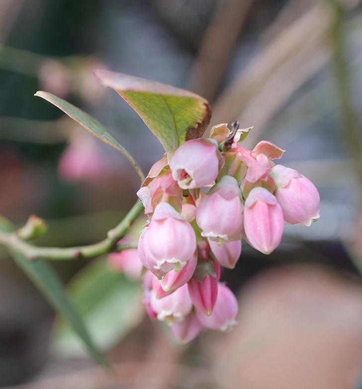 ブルーベリーの花が咲いた。2020年-5.jpg