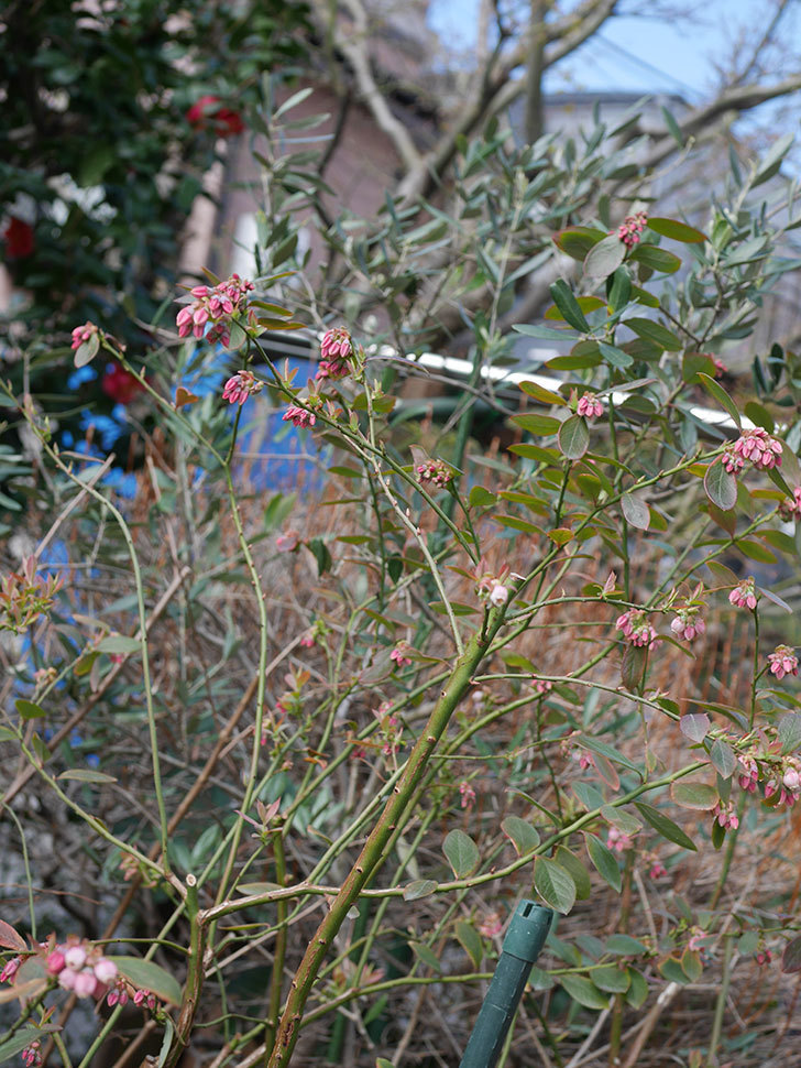 ブルーベリーの花が咲いた。2020年-7.jpg