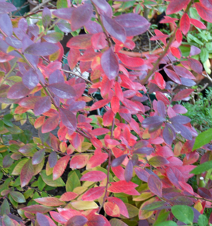 ブルーベリーの葉が紅葉した。2016年-2.jpg