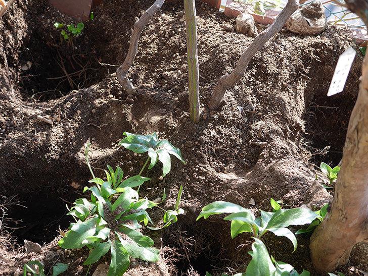 ブルーランブラー(Blue Rambler)に寒肥を施した。ツルバラ。2021年-001.jpg