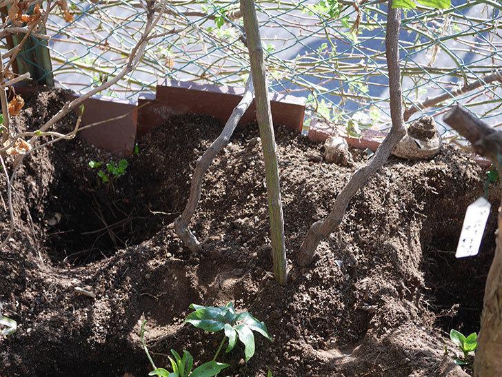 ブルーランブラー(Blue Rambler)に寒肥を施した。ツルバラ。2021年-002.jpg