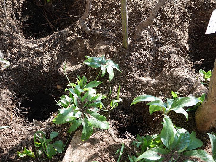 ブルーランブラー(Blue Rambler)に寒肥を施した。ツルバラ。2021年-003.jpg