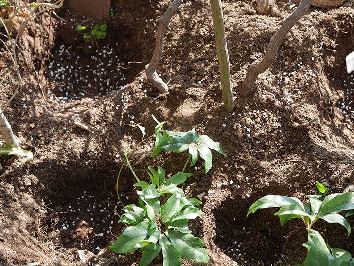 ブルーランブラー(Blue Rambler)に寒肥を施した。ツルバラ。2021年-011.jpg