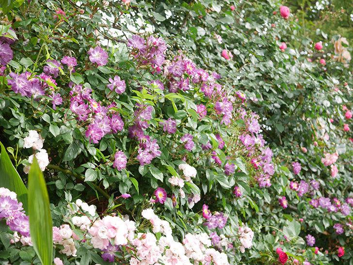 ブルーランブラー(Blue Rambler)の花が増えてきた。ツルバラ。2021年-001.jpg