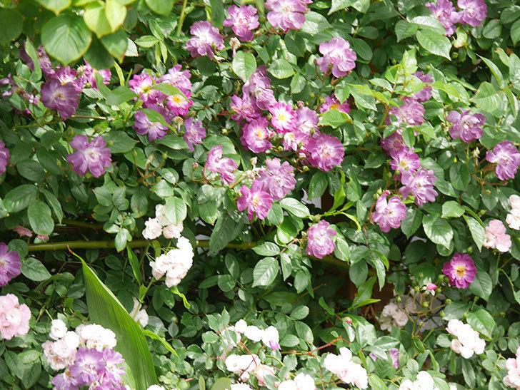 ブルーランブラー(Blue Rambler)の花が増えてきた。ツルバラ。2021年-004.jpg