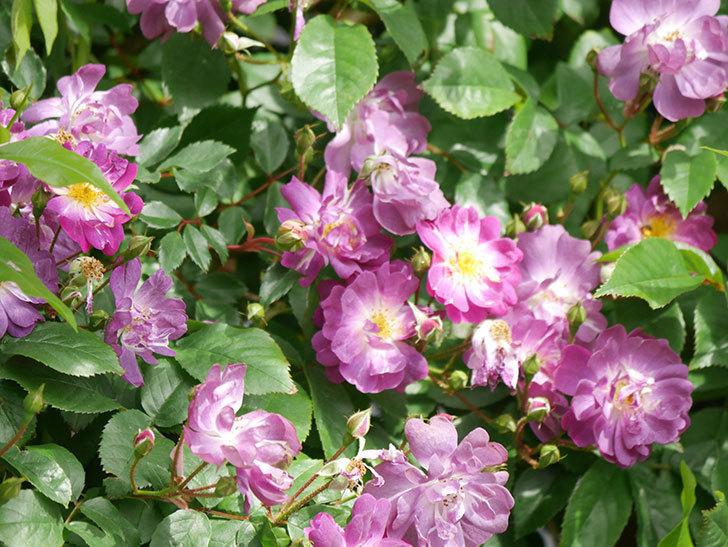 ブルーランブラー(Blue Rambler)の花が増えてきた。ツルバラ。2021年-005.jpg