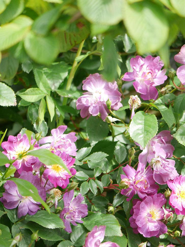 ブルーランブラー(Blue Rambler)の花が増えてきた。ツルバラ。2021年-006.jpg
