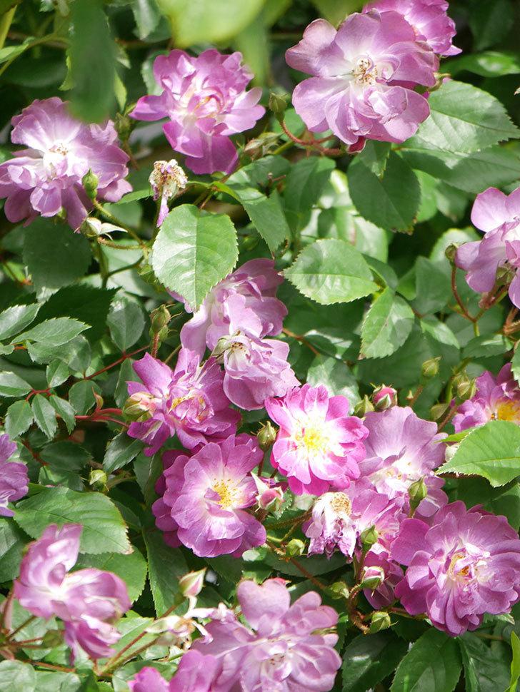 ブルーランブラー(Blue Rambler)の花が増えてきた。ツルバラ。2021年-007.jpg