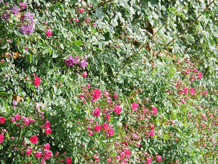 ブルーランブラー(Blue Rambler)の花が増えてきた。ツルバラ。2021年-008.jpg