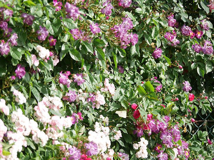 ブルーランブラー(Blue Rambler)の花が増えてきた。ツルバラ。2021年-009.jpg