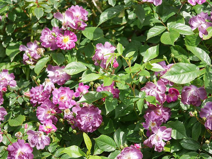 ブルーランブラー(Blue Rambler)の花が増えてきた。ツルバラ。2021年-011.jpg