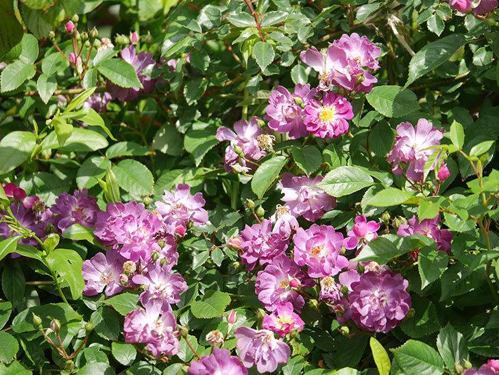 ブルーランブラー(Blue Rambler)の花が増えてきた。ツルバラ。2021年-012.jpg