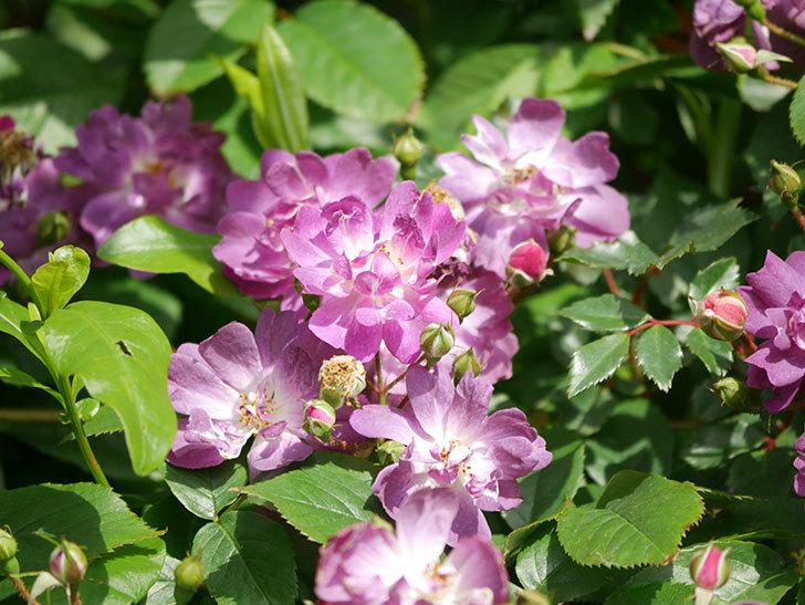 ブルーランブラー(Blue Rambler)の花が増えてきた。ツルバラ。2021年-013.jpg