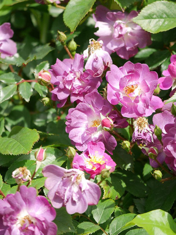 ブルーランブラー(Blue Rambler)の花が増えてきた。ツルバラ。2021年-014.jpg